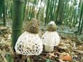 竹荪的营养价值和功效